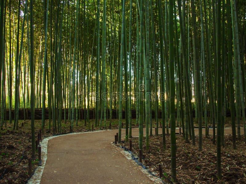 Manera de bambú verde del bosque y del paseo en Arashiyama imagen de archivo libre de regalías