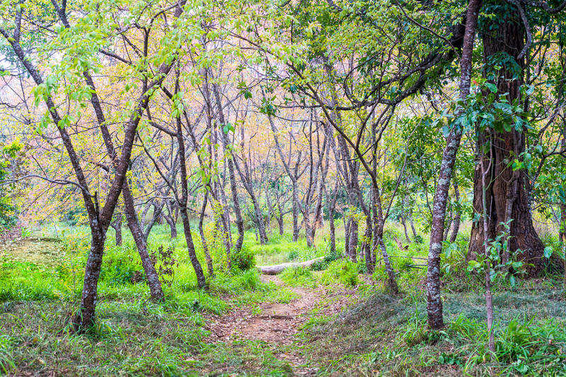 Manera del sendero al bosque con el árbol en campo de hierba foto de archivo