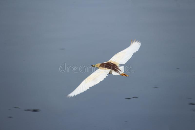 Flying by the pond to left royalty free stock photos