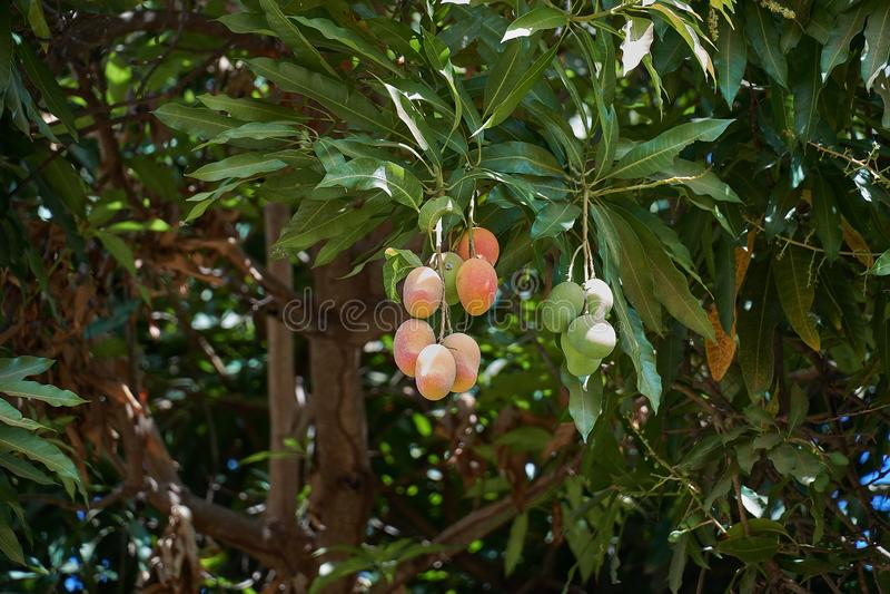 Manga maduras na árvore Grupo das manga frescas que penduram da árvore imagens de stock royalty free