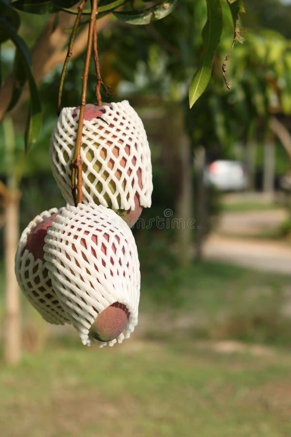 Manga maduras na árvore no jardim foto de stock