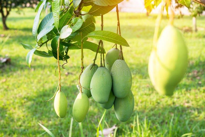 Manga na árvore, frutos frescos que penduram dos ramos, grupo da manga verde e madura fotografia de stock royalty free