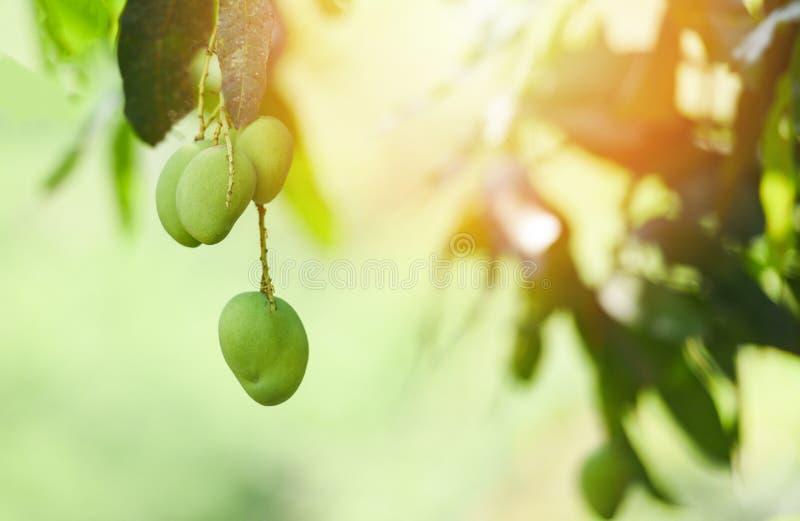 Manga nova na manga verde fresca do fruto tropical da árvore com luz solar no jardim imagens de stock royalty free