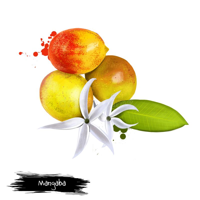 Mangaba owoc Wyśmienicie brazylijska owoc - Hancornia speciosa - Tropikalny drzewo i kwiat kultywujący dla jadalnej owoc, owoc ilustracji