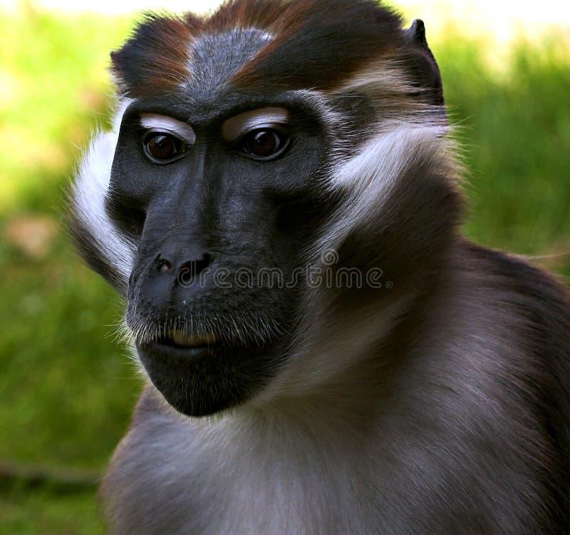 Download Mangabey stock photo. Image of distinctive, white, face - 232268