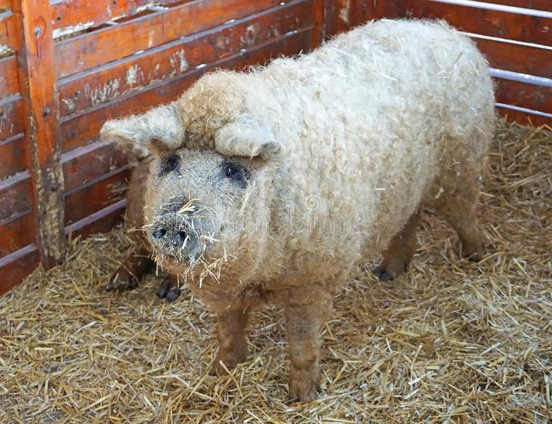Mangalitsa świnie w hutch fotografia stock