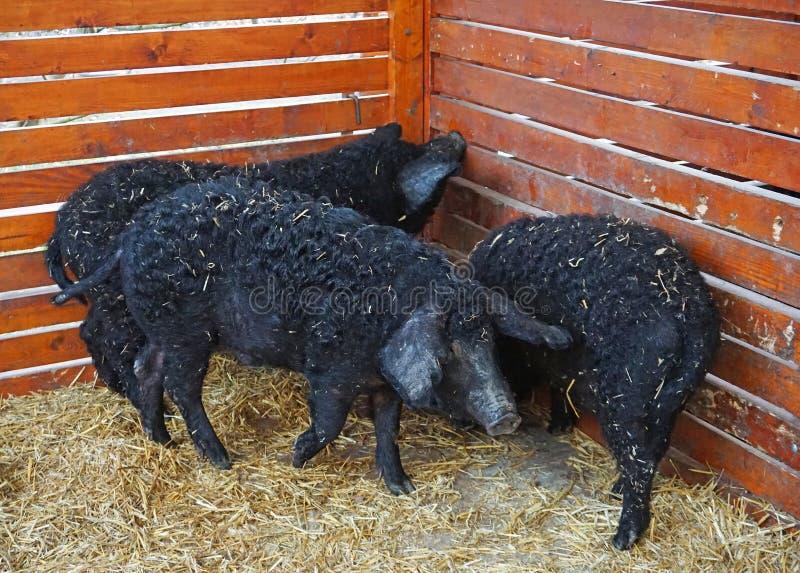 Mangalitsa świnie w hutch obraz royalty free