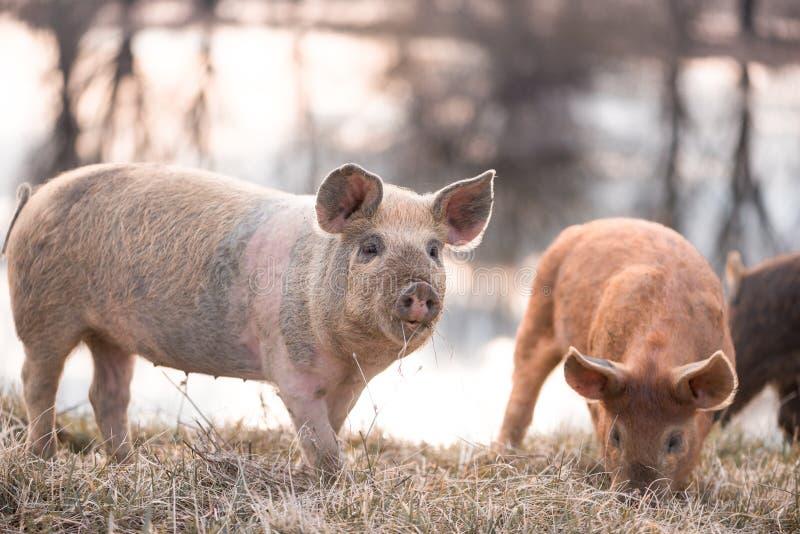 Mangalitsa mała świnia na polu obrazy royalty free