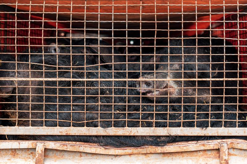 Mangalitsa pigs transported in vehicle trailer. This breed grows woolly coat similar to sheep stock images