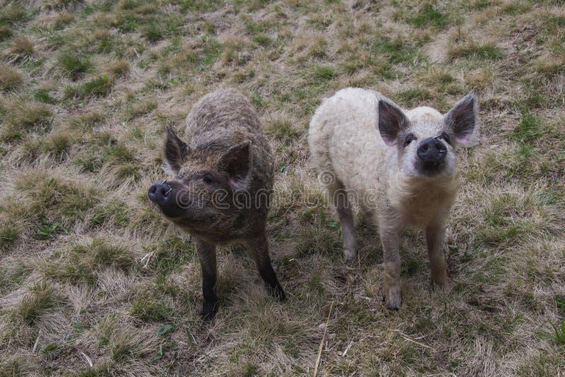 Mangalitsa svin arkivfoton
