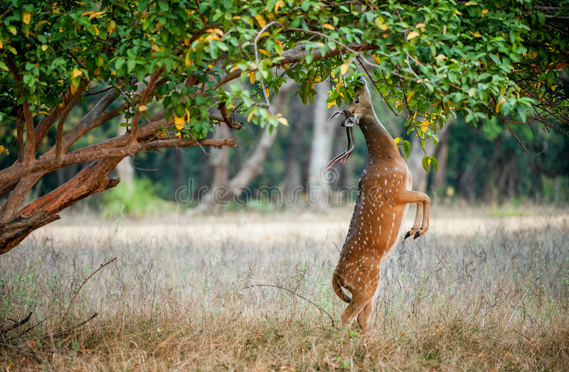 Mangeant les cerfs communs cheetal masculins sauvages (axe d'axe) l'Inde image libre de droits