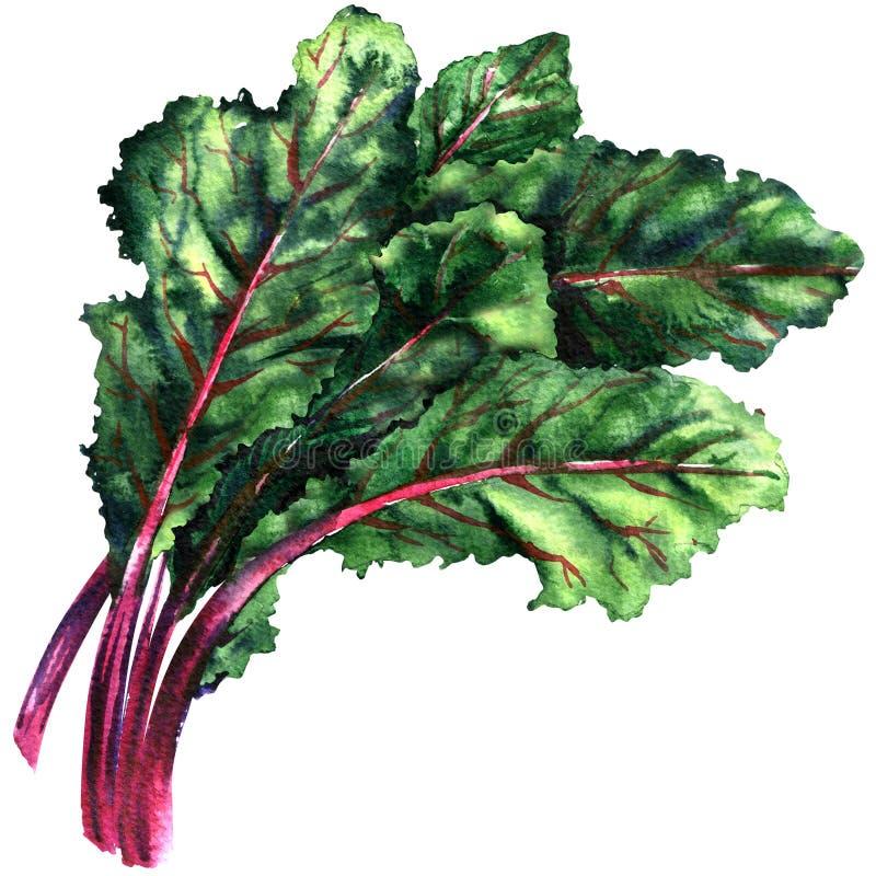 Mangelwortel, snijbiet, verse groene bladeren van geïsoleerde biet, waterverfillustratie vector illustratie