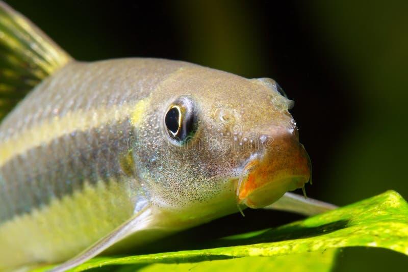 Mangeur siamois d 39 algues image stock image du poissons for Aquarium poisson rouge algues