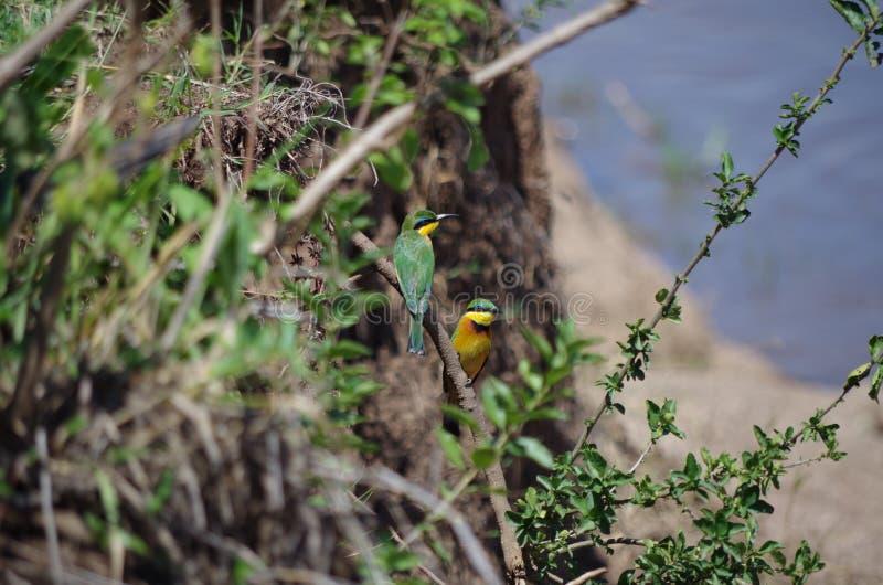 Mangeurs d'abeille africains par la rivière photos stock