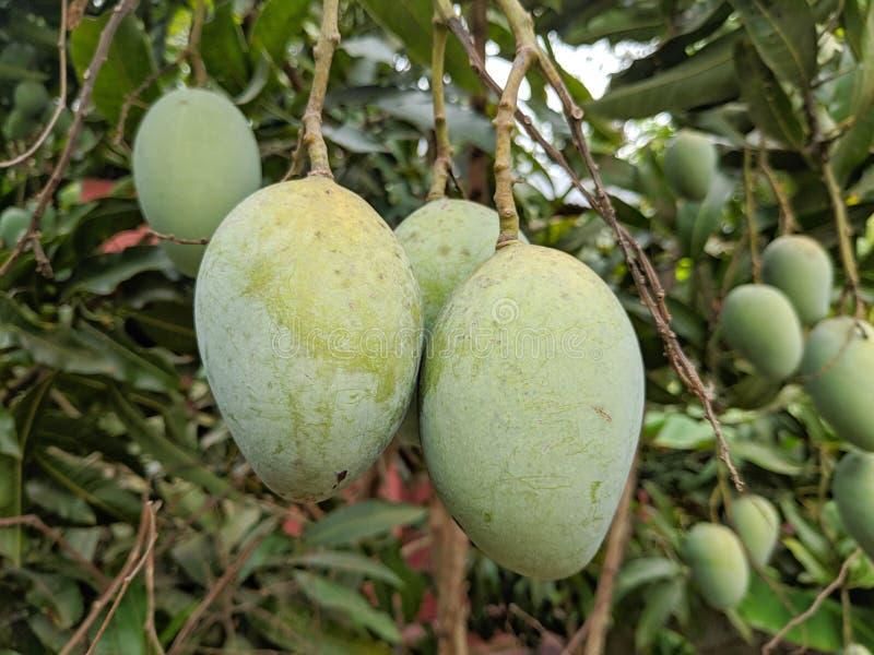 Manghi asiatici deliziosi sull'albero fotografia stock
