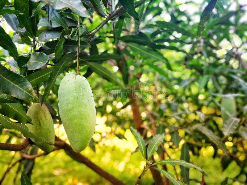 Manghi sull'albero, Tailandia fotografie stock