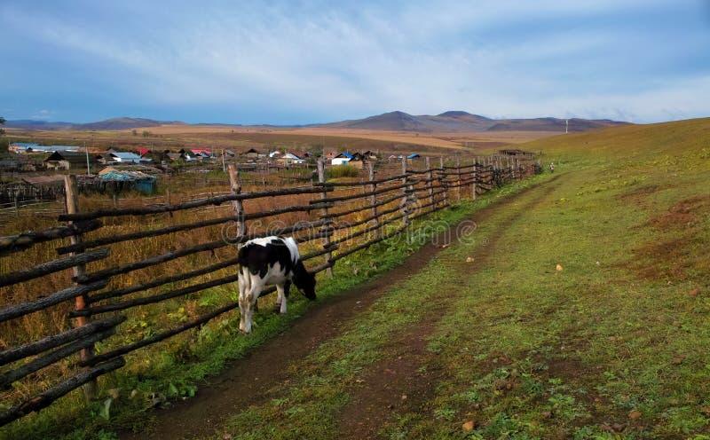 Mangi la mucca di latte di erba sul ranch di mattina fotografia stock