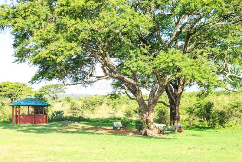 Mangiando e spazio di sosta sotto un albero africano enorme fotografia stock