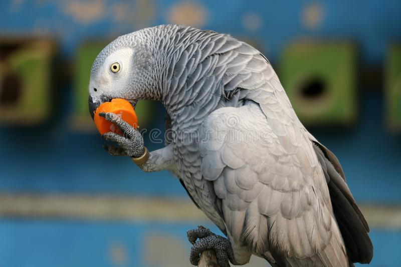 Mangiando il tempo un pappagallo sta mangiando fotografie stock libere da diritti