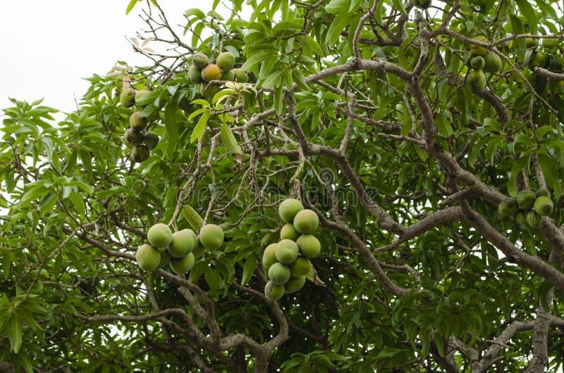 Mangifera Indica with Fruits royalty free stock images