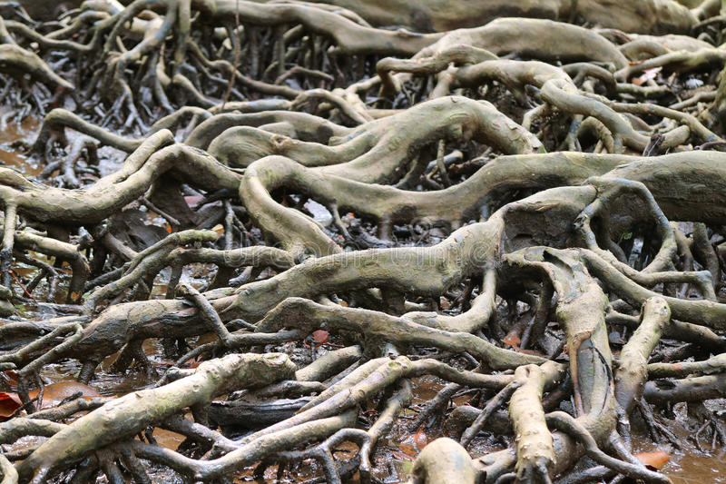 Mangle increíble Forest Tree Roots, Tailandia imágenes de archivo libres de regalías