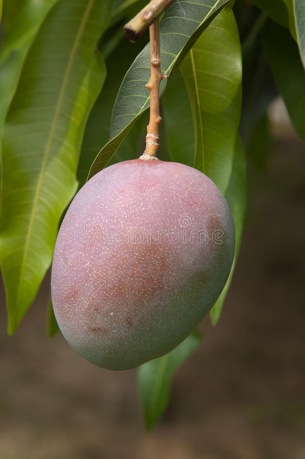Download Mango stock photo. Image of foliage, hang, agriculture - 14972506