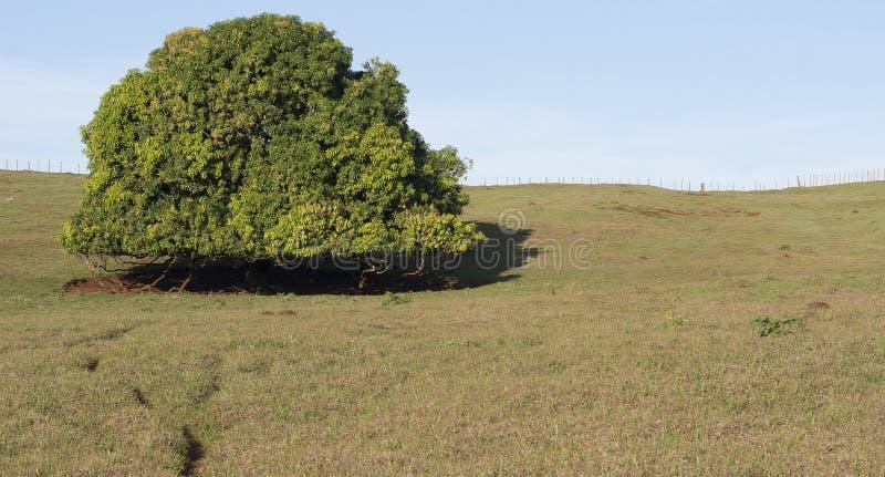 Mango alleen boom op het landbouwbedrijf royalty-vrije stock afbeelding