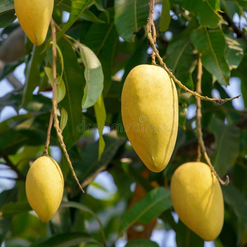 Mango bär frukt på ett träd royaltyfri bild