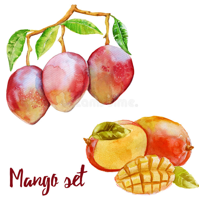 Mango on a branch and cut fruit in a set. Isolated on white background. stock illustration