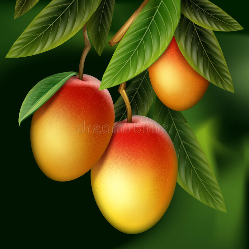 Mango on branch. Vector ripe yellow, orange, red whole mango and leaves hanging on branch with green blur Background royalty free illustration