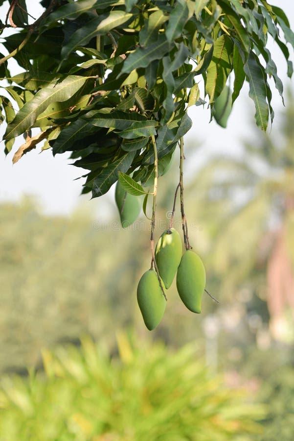 Free Mango Bunch ,organic Fruit Stock Image - 67537521