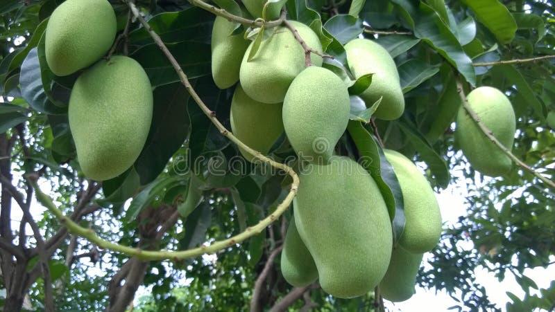 Mango che appende sull'albero fotografia stock