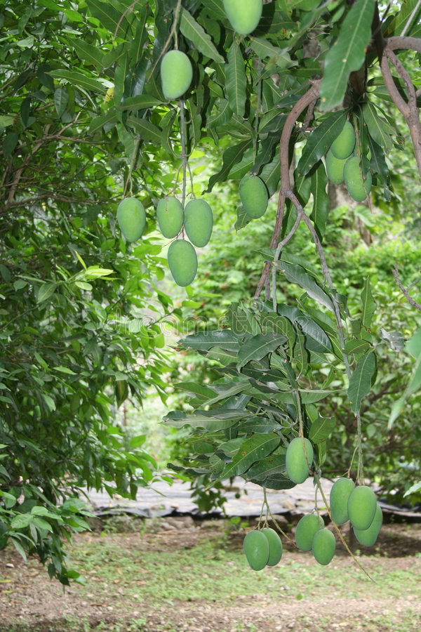 Free Mango Cultivation And Harvest Stock Photography - 919962