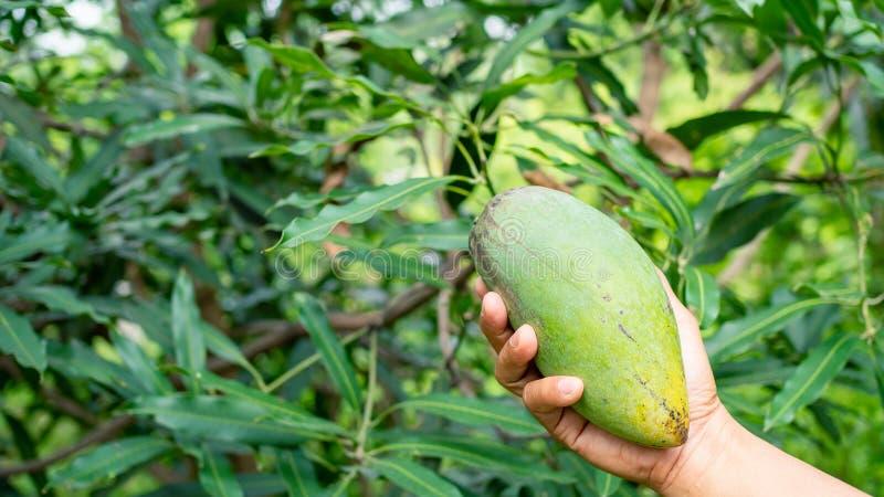 Mango della tenuta della mano in giardino Primo piano della mano della donna che tiene mango giallo nel mango del forestYellow a  fotografia stock