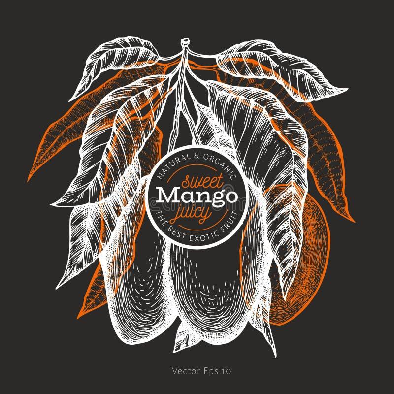 Mango design template. Hand drawn vector tropic fruit illustration on chalk board. Engraved style fruit. Vintage exotic food royalty free illustration