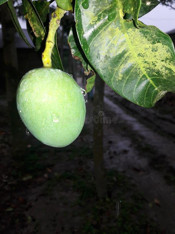 mango después de la lluvia imagenes de archivo