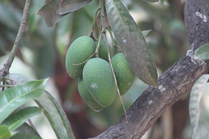 Mango en árbol imagen de archivo libre de regalías