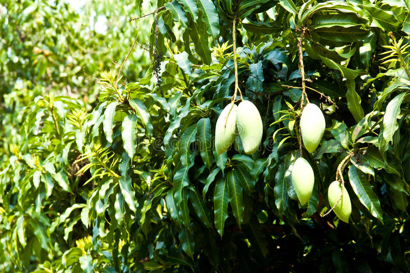 Mango en árbol fotos de archivo