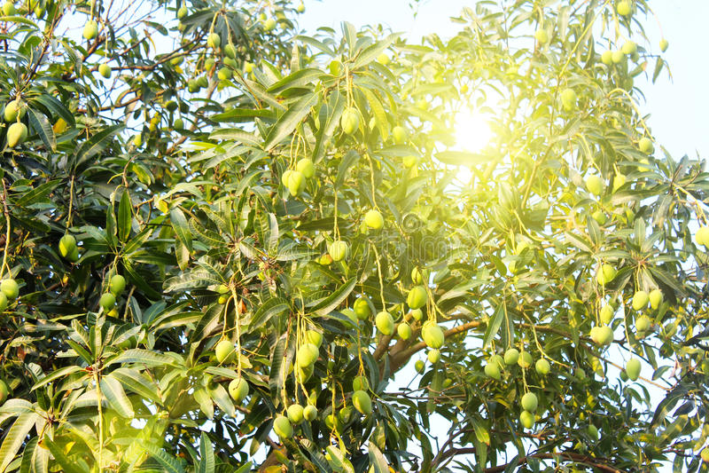 Mango en el árbol imagen de archivo libre de regalías