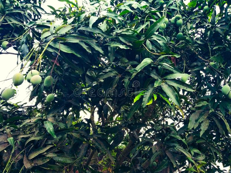 Mango en el árbol de mango rodeado con las hojas del mango Langra Aam imagen de archivo