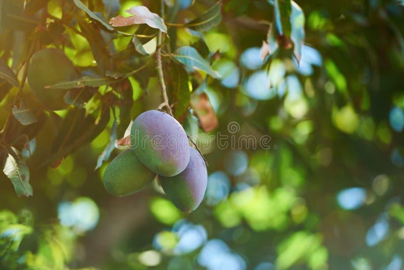 Mango fruit ripe. On garden tree. Exotic summer mango fruits royalty free stock images