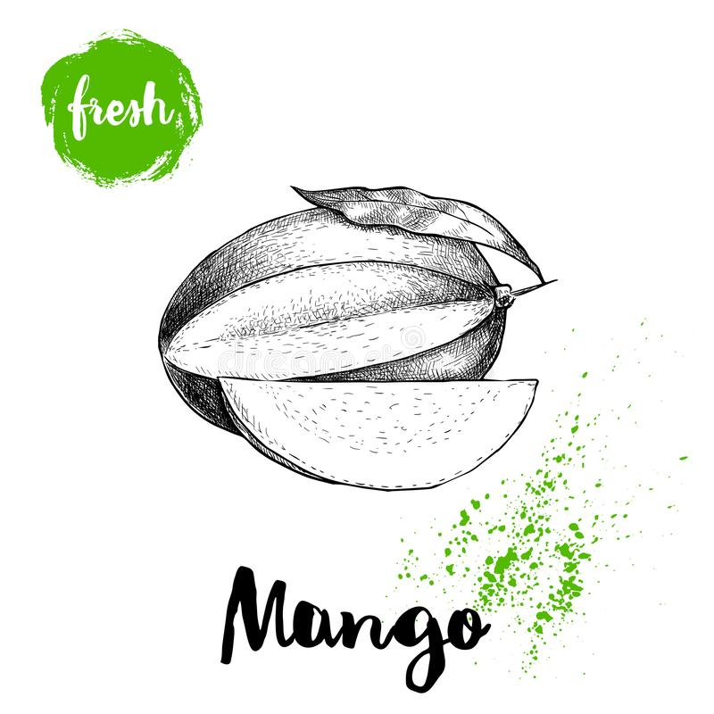 Mango fruit sketch style vector illustration. Hand drawn poster. Exotic fruit with leaf and slice. Retro illustration. Isolated on white background royalty free illustration