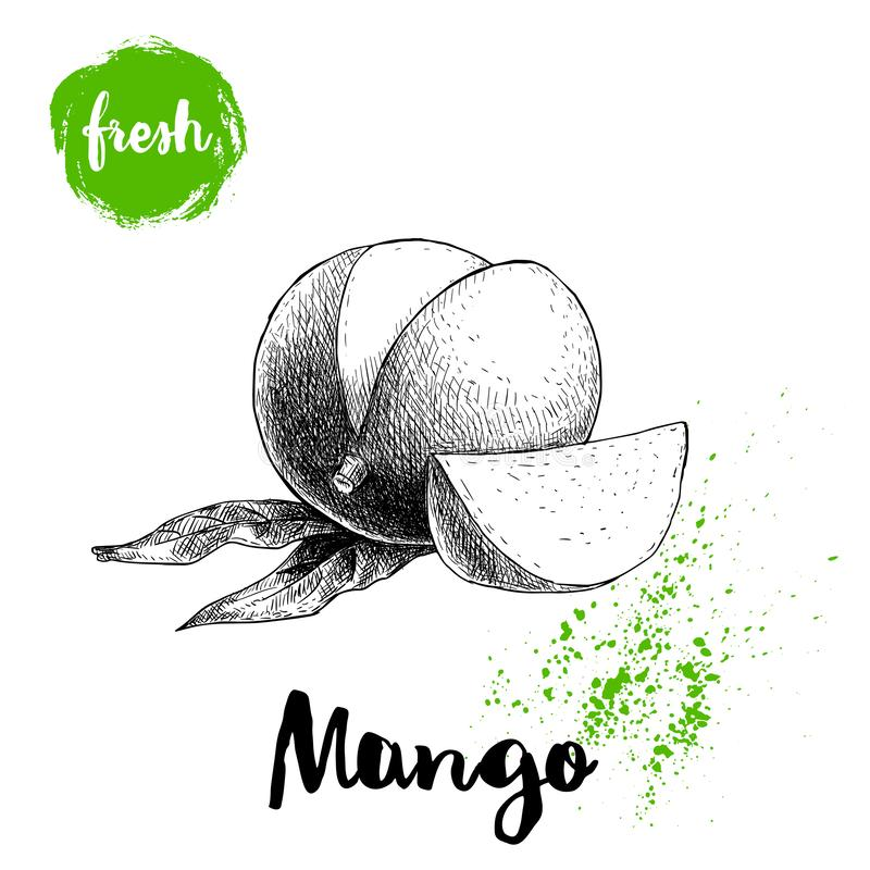 Mango fruit sketch style vector illustration. Hand drawn poster. Exotic fruit with leaves and slice. Retro illustration. Isolated on white background stock illustration