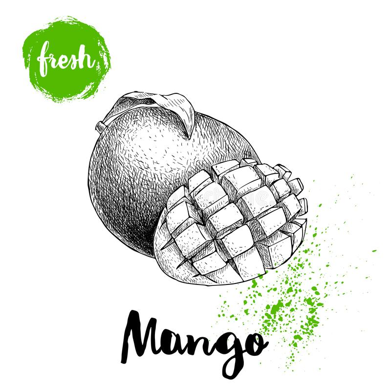 Mango fruits sketch style vector illustration. Hand drawn poster. Exotic fruits composition with leaves and cube slice. Retro illu. Stration isolated on white vector illustration