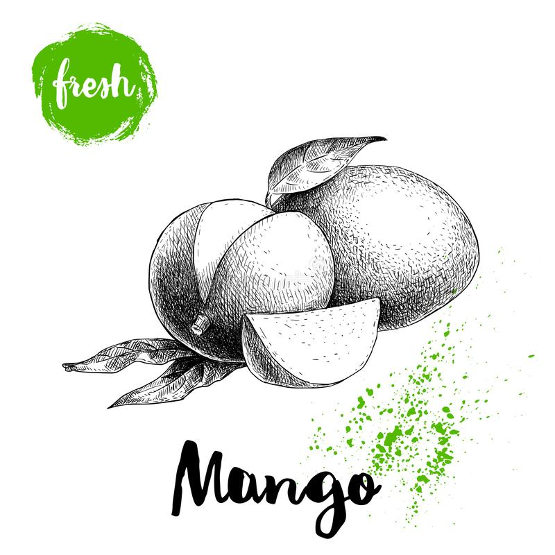 Mango fruits sketch style vector illustration. Hand drawn poster. Exotic fruits composition with leaves and slice. Retro illustrat. Ion isolated on white royalty free illustration