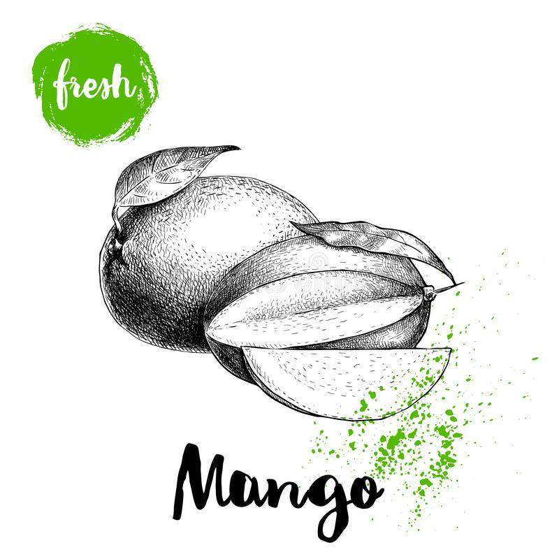 Mango fruits sketch style vector illustration. Hand drawn poster. Exotic fruits composition with leaves and slice. Retro illustrat. Ion isolated on white vector illustration