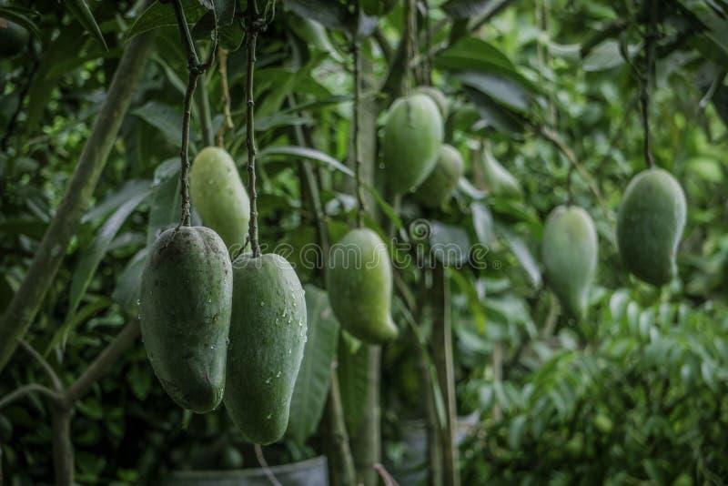 Mango grande verde de Maldaha del bangladeshí del tamaño, Rajshahi Fazli del mango de Fozlee imagenes de archivo