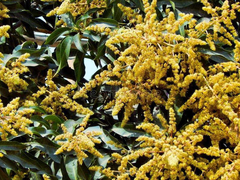 Mango i mangoträd omgav withMangoblommablomningen, Aam-kaen Manzar royaltyfri bild