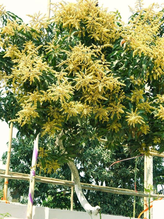 Mango i mangoträd omgav withMangoblommablomningen, Aam-kaen Manzar arkivfoto