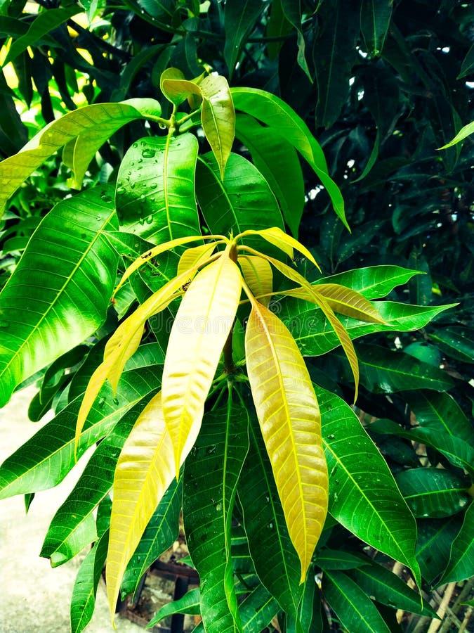 Mango i mangoträd omgav withMangoblommablomningen, Aam-kaen Manzar royaltyfri foto